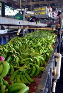 Bananas being washed in preparation to packaging